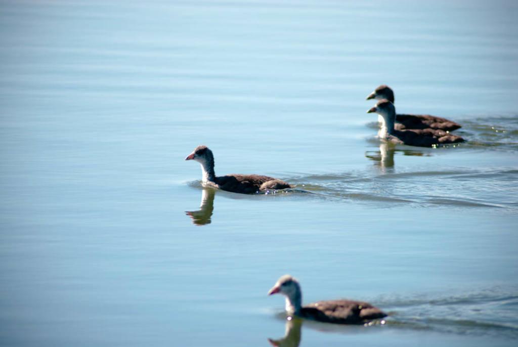 West Davis Wetlands Waterfowl Young Ducks