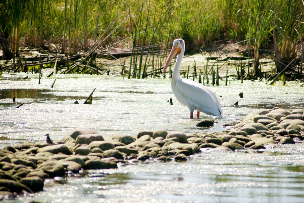 West Davis Wetlands Waterfowl